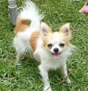 White Long Haired Chihuahua Teacup | www.pixshark.com ...