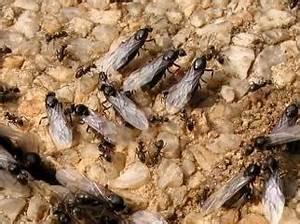 Ameisen Mit Flügel : fliegende ameisen granitplatten innenbereich ~ Buech-reservation.com Haus und Dekorationen