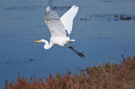 Great Egret | Nature Collective