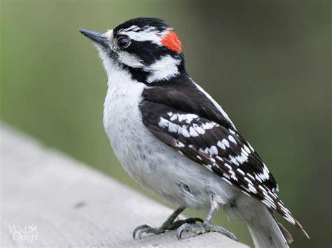 platform bird feeder downy woodpecker delightwild delight