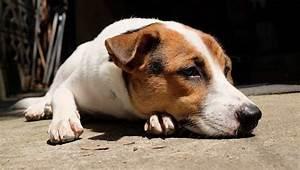 Brain Tumors In Dogs  Symptoms  Causes   U0026 Treatments