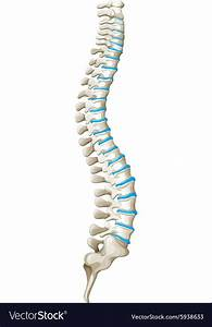 Spine Diagram Showing Back Pain Vector Image By