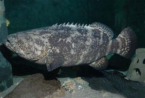 grouper goliath atlantic inaturalist aquarium