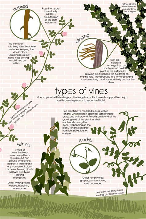 vine type plants types of vines feed the data monster