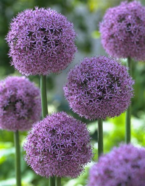 large purple flowers purple balls of allium flower bulb crazy
