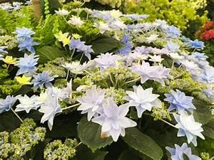 Hortensie Als Zimmerpflanze : hortensie ein star mit frostpech ploberger ~ Lizthompson.info Haus und Dekorationen