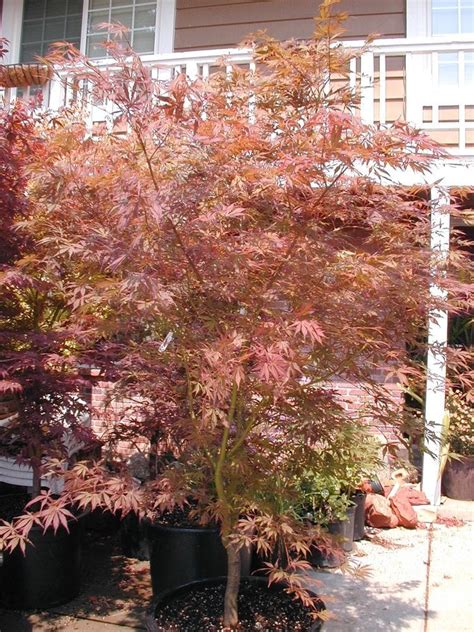 maples for all seasons acer p suminagashi our best heat sun tolerant japanese maple grows to 15 landscape size 2