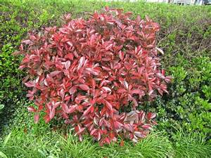 Photinia Red Robin : photinia fraseri red robin glansmispel ~ Michelbontemps.com Haus und Dekorationen