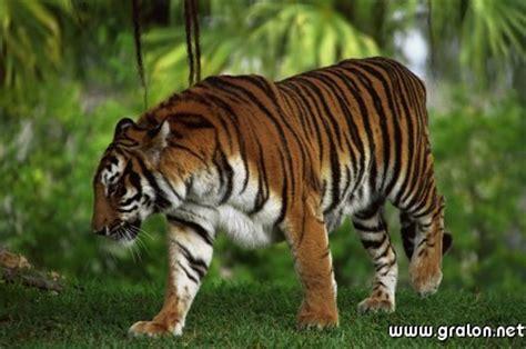 jeux de la jungle cuisine carte tigre jungle thème animaux