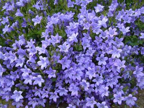 periwinkle perennial periwinkle is a ground cover with the most beautiful vibrant blue flowers annual in some