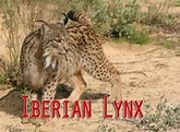 15 Things You Need to Know about the Iberian Lynx before ...