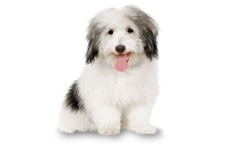 Miniature Dogs Dont Shed by Coton De Tulear Dog Breed Information Pictures