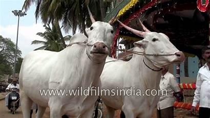 Hallikar Bulls Cattle India Fair