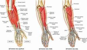 Forearm muscles | muscle cou | Pinterest
