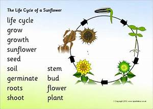 Life Cycle Of A Sunflower Word Mat  Sb9501