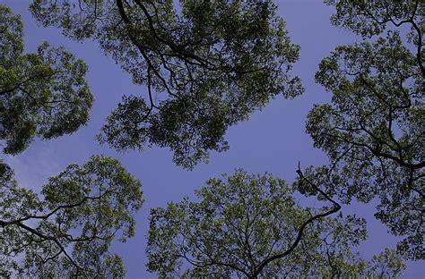 Canopy (biology)  Wikipedia