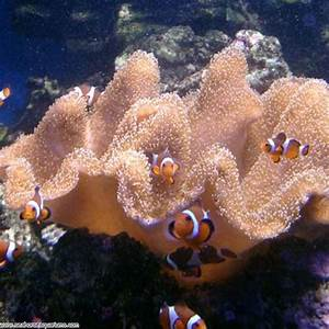 Toadstool Leather Coral - Seahorse Aquariums Ltd