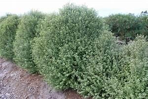 pittosporum screen between 175mm pot dawsons garden world