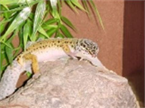 do leopard geckos shed leopard gecko care sheet