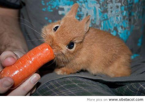 neitherland dwarf dwarf hotot rabbits images