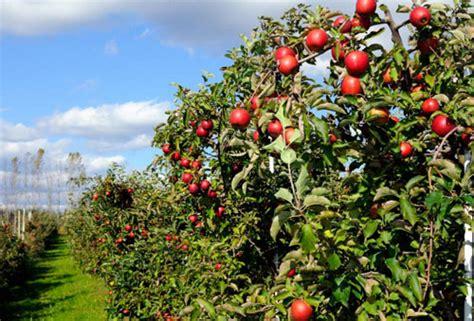 wisata kebun petik apel batu malang jawa timur iqbal azhari