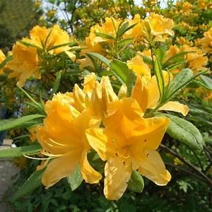 Amaryllis Zwiebeln Kaufen : 2pcs gelb wei sunrise amaryllis zwiebeln hippeastrum zwiebeln home garten dekor ebay ~ Frokenaadalensverden.com Haus und Dekorationen