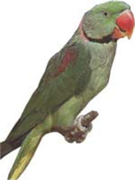 perruche alexandre fiche d 233 taill 233 e oiseaux de cage et