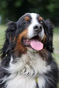 Berner Sennenhund Gewicht : berner sennenhund ein wundervoller familienhund ~ Markanthonyermac.com Haus und Dekorationen