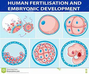 Diagram Showing Human Fertilisation And Embryonic