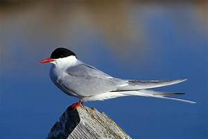 Arctic Tern | Audubon Field Guide