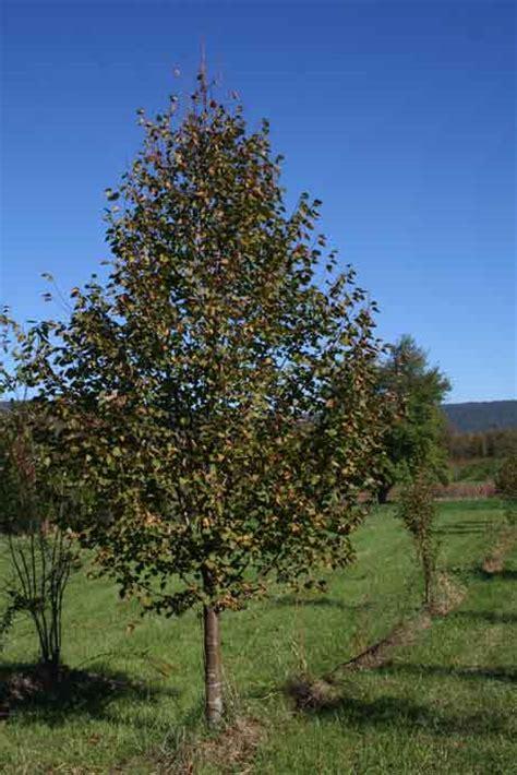 shade tree greenspire littleleaf linden tilia cordata