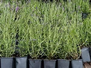 Lavendel Pflanzen Im Topf : lavendel 39 hidcote blue 39 lavandula 39 hidcote blue 39 staude g nstiger preis ~ Frokenaadalensverden.com Haus und Dekorationen