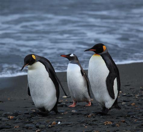 Penguin Desk Copies Canada by File Penguins Walking Moltke Harbour South