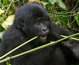 Top 12 Mountain Gorilla Facts - Habitat, Diet, Population,