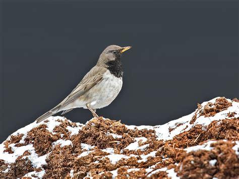 Ottars Fotoblogg Fugler Dyr Og Natur Svartstrupetrost
