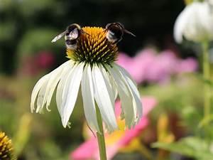 Sonnenhut Pflanze Kaufen : wei bl hender sonnenhut 39 alba 39 echinacea purpurea 39 alba 39 baumschule horstmann ~ Buech-reservation.com Haus und Dekorationen