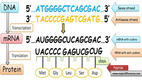template strand definition difference between sense strand and antisense strand of dna