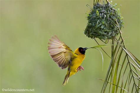 weaver bird wild encounters paul paveena mckenzie 0286 black headed weaver bird flying towards nest