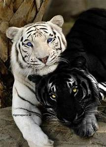 lions tigers and ligers on Pinterest | Ligers, Tigers and ...