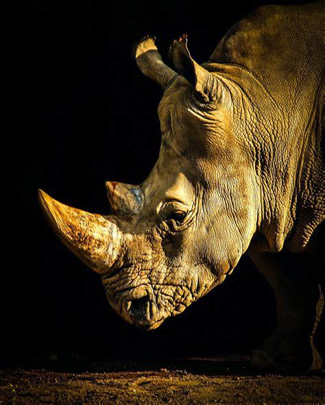 O rinoceronte de Dürer