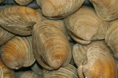 types of clams file live topneck clam jpg wikimedia commons