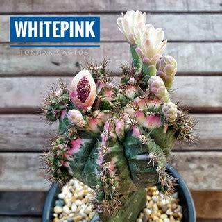 16 กค. ยิมโนด่าง โคลนฺ White Pink Gymno ไม้กราฟ) ยิมโนหัว ...