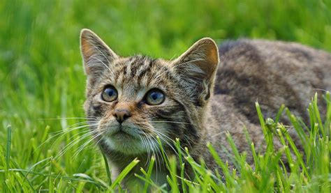 british wild cats facts diet habitat information