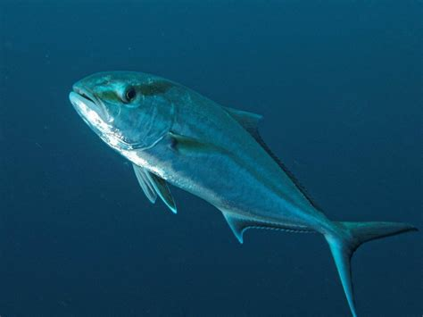 Greater Amberjack Gray Triggerfish Seasons To Close Early