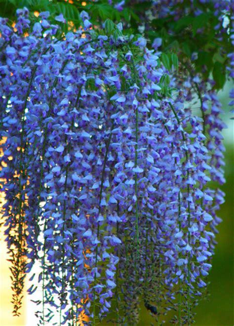 purple flowered vine photo