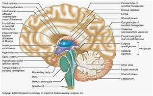 Human Brain Anatomys Human Brain Labeled Diagram