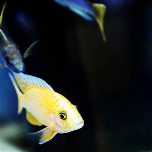 Poisson Aquarium Eau Chaude : poissons eau chaude mons belgique arowana poissons ~ Mglfilm.com Idées de Décoration