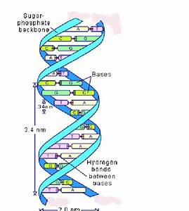 6  Three Dimensional Representation Of The Dna Double