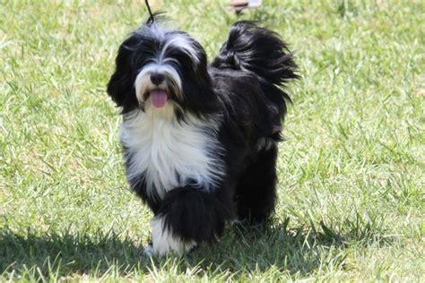 tibetan terrier breed information tibetan terrier images