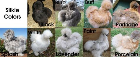 silkie chicken colors silkie chicken color chart